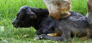 Kalb nach der Geburt