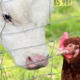 Kalb und Huhn