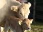 Kalb und Kuh