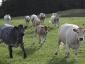 Rennende Kühe